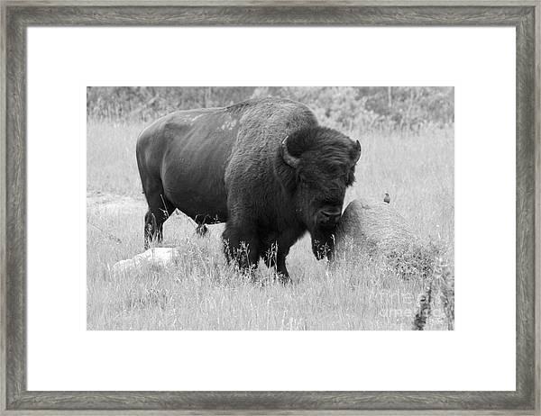 Bison And Buffalo Framed Print