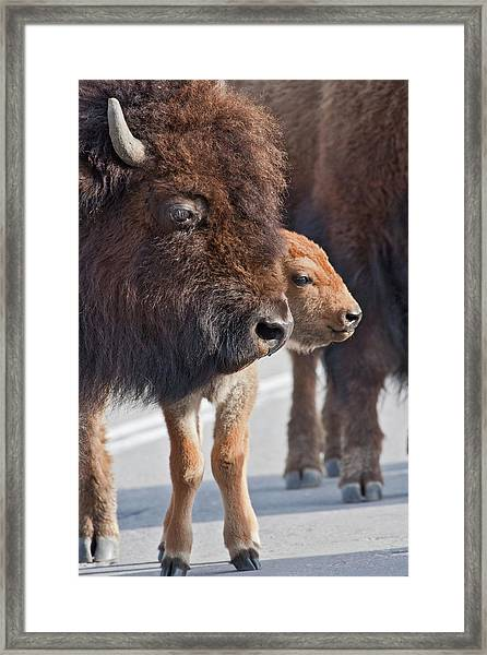 Bison Family Framed Print