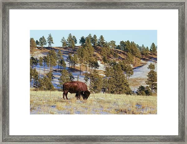 Bison In Custer State Park Framed Print