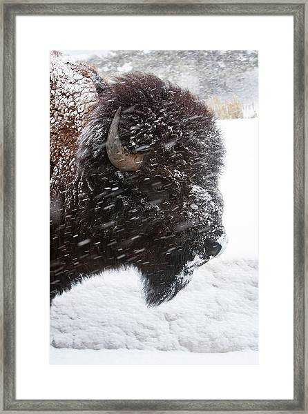 Bison In Snow Framed Print