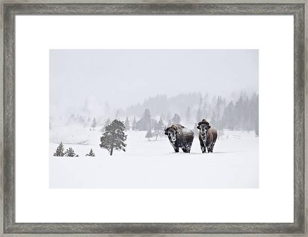 Bison In The Snow Framed Print