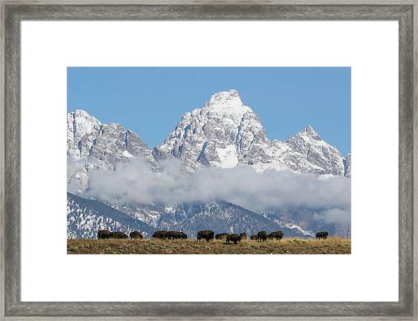 Bison In The Tetons Framed Print