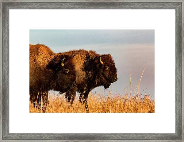 Bison Pair Framed Print