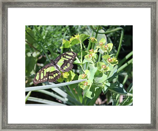 Black And Green Butterfly Framed Print
