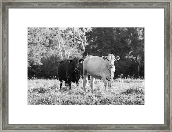 Black And White Cows Framed Print