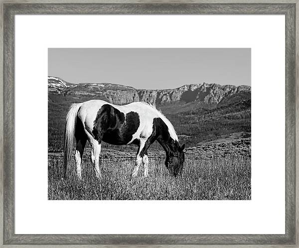 Black And White Horse Grazing In Wyoming In Black And White  Framed Print