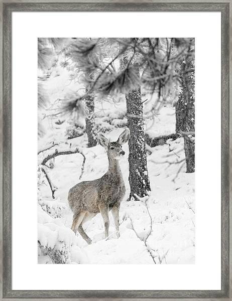 Black And White Mule Deer In Heavy Snowfall Framed Print