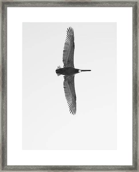 Black And White Pelican Framed Print