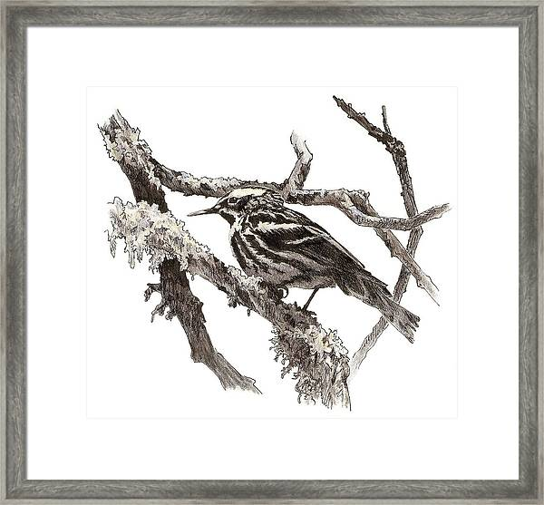 Black-and-white Warbler Framed Print