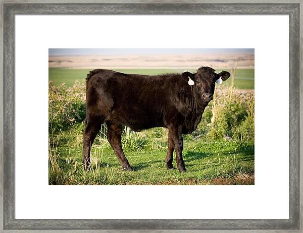 Black Angus Calf In Green Grassy Pasture Framed Print
