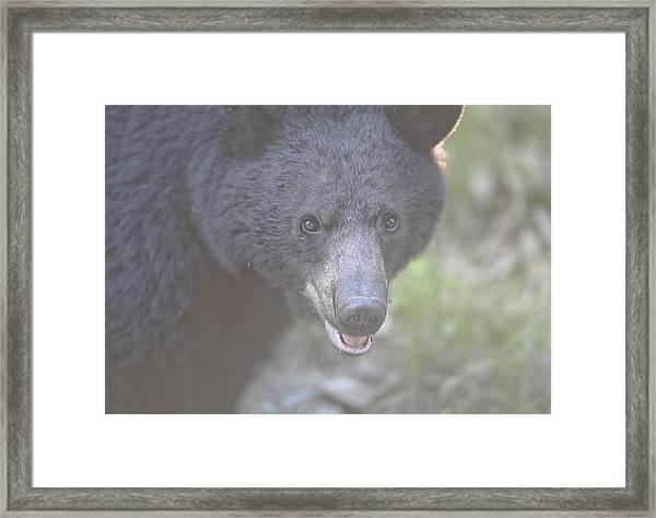 Black Bear  Framed Print by Glenn Vidal