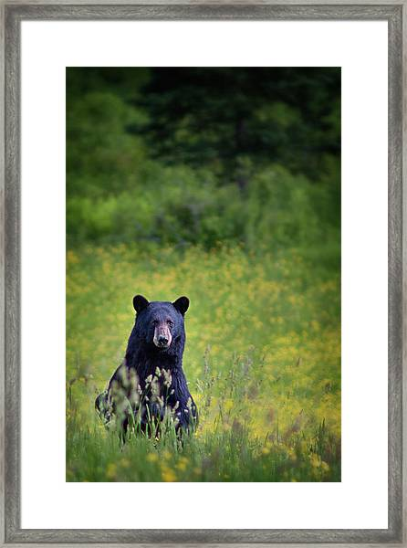 Black Bear Lookin At Me Framed Print