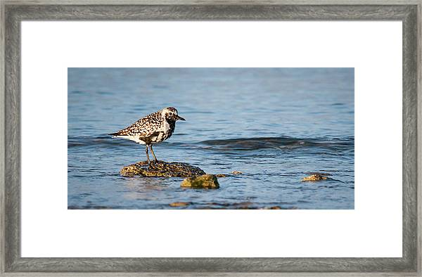Black-bellied Plover Framed Print