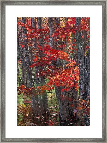 Black Birch Tree Splendor Framed Print