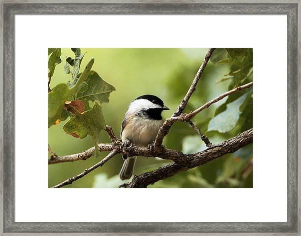 Black Capped Chickadee On Branch Framed Print
