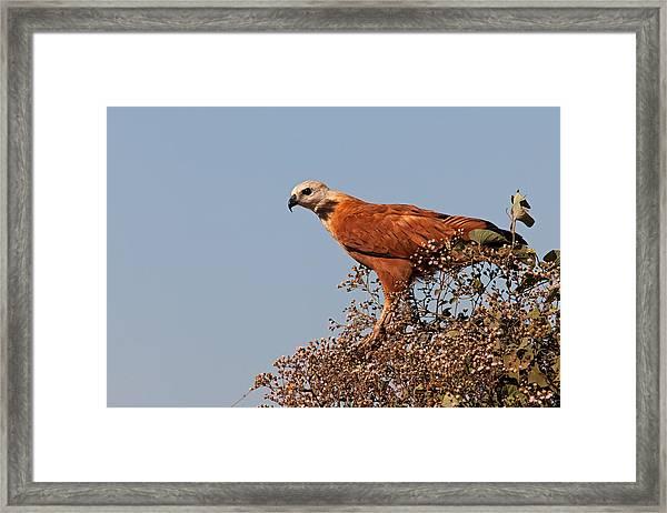 Black-collared Hawk, Pantanal Framed Print