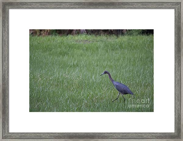 Black Egret Framed Print