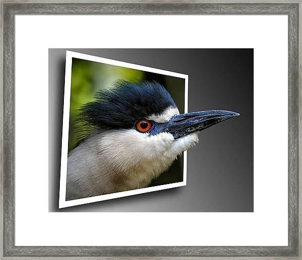 Black Crowned Night Heron Out Of Bounds Framed Print