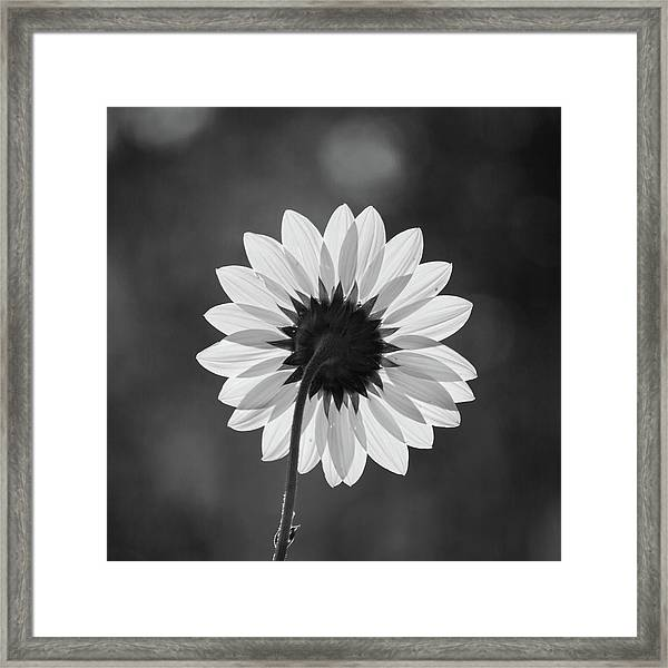 Black-eyed Susan - Black And White Framed Print
