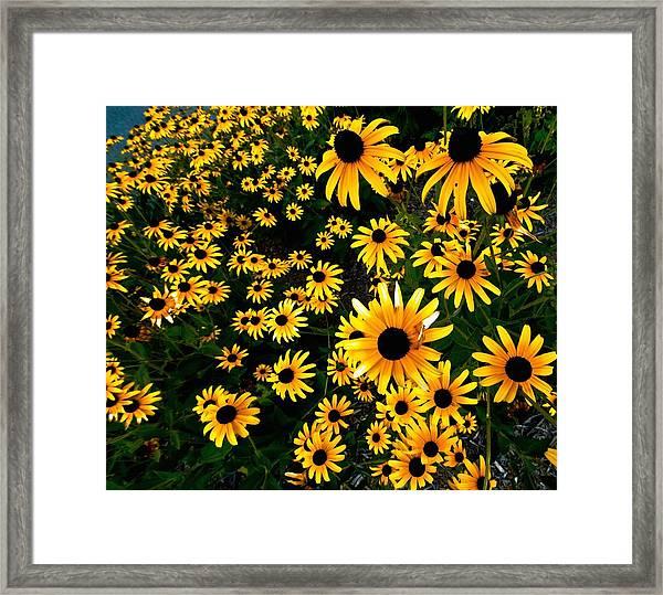 Black-eyed Susan Flowers Framed Print