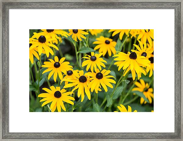 Black-eyed Susan Up Close Framed Print