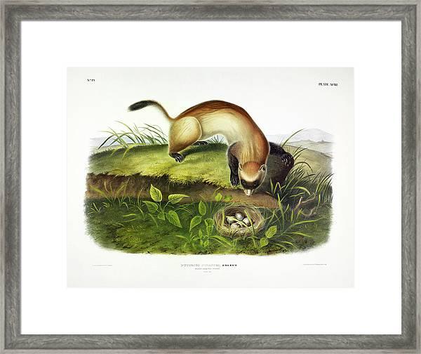 Black-footed Ferret Framed Print