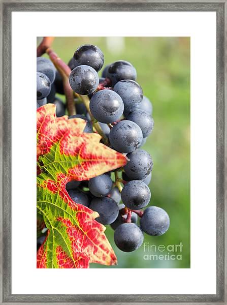 Black Grapes On The Vine Framed Print