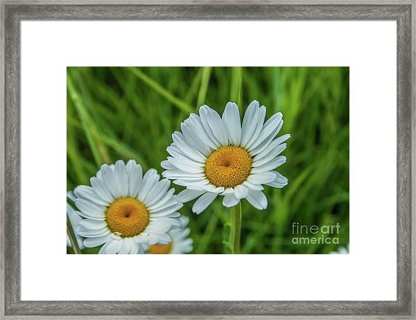 Black-headed Daisy's Framed Print