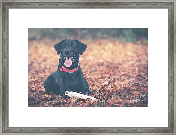 Black Labrador In The Fall Leaves Framed Print