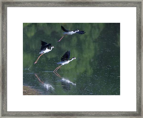 Black-necked Stilts 4302-080917-2cr Framed Print