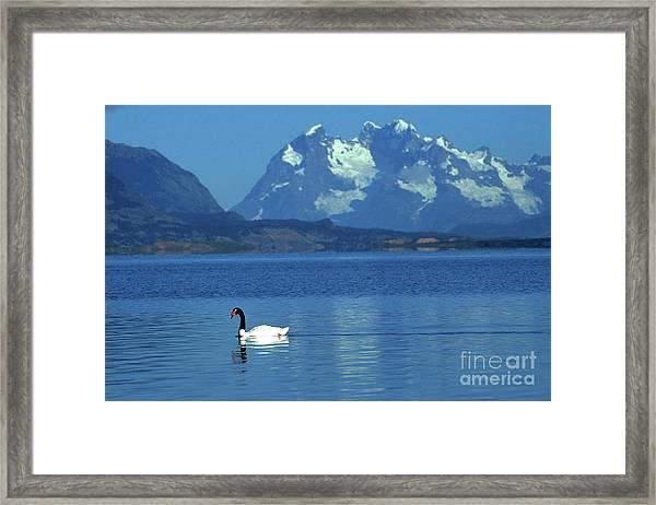 Black Necked Swan On Last Hope Sound Chile Framed Print