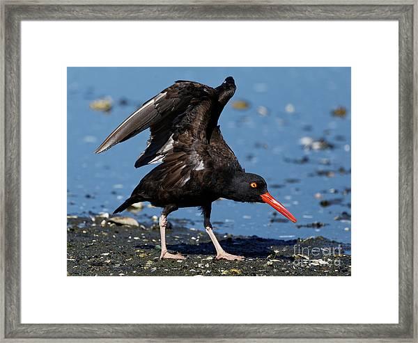 Black Oyster Catcher Framed Print