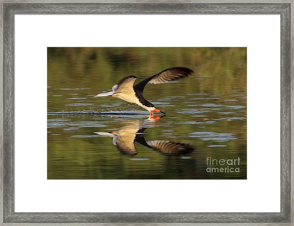 Black Skimmer Fishing Framed Print