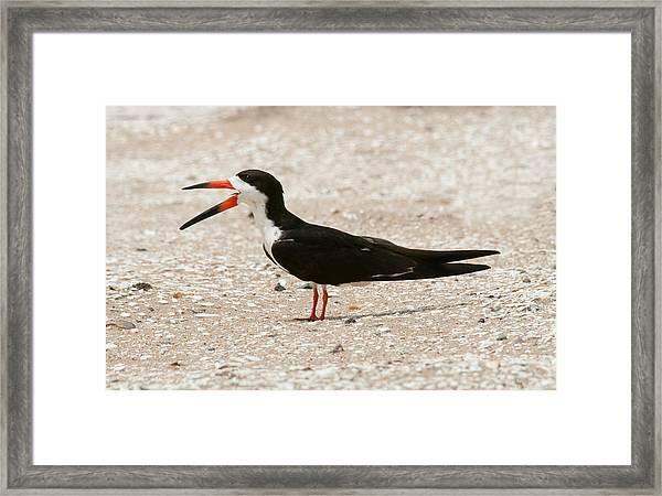 Black Skimmer On Assateague Island Framed Print