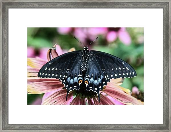 Black Swallowtail 3 Framed Print