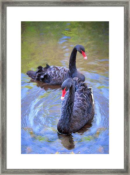 Black Swans Framed Print