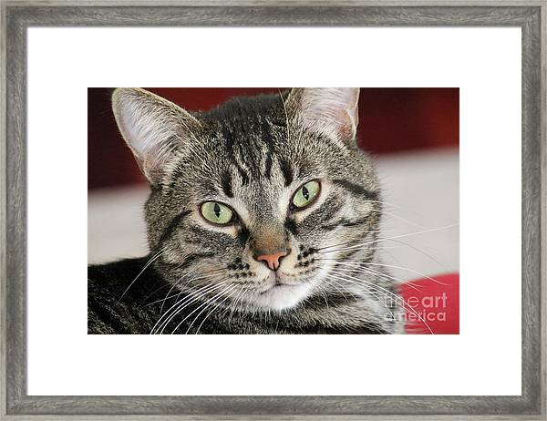 Black Tabby Framed Print