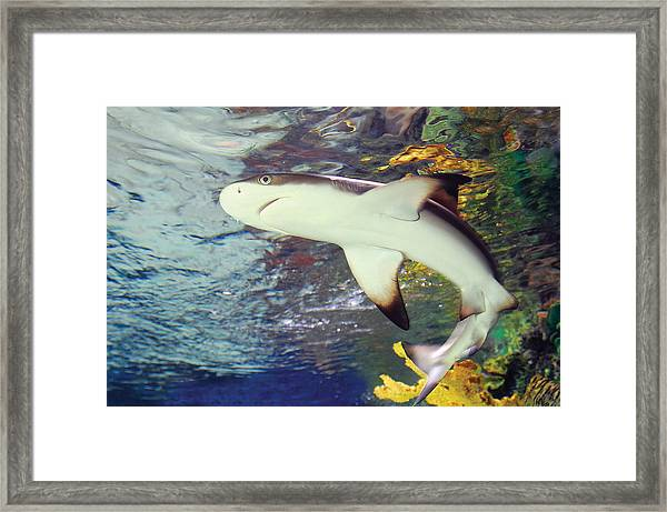 Black Tipped Reef Shark-1 Framed Print