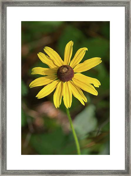 Blackeyed Susan Framed Print