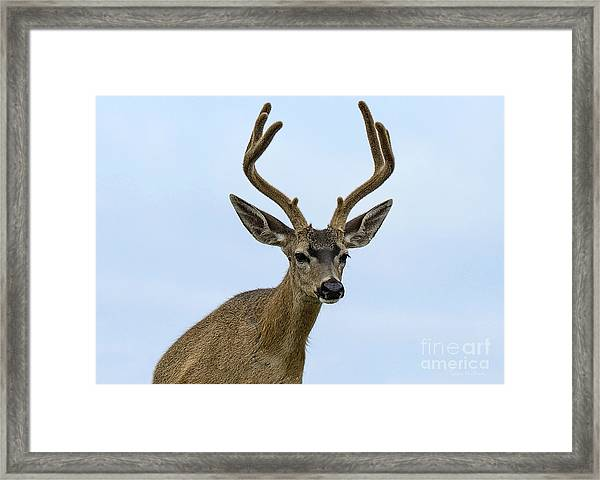 Blacktail Deer Showing Off Summer Antlers Framed Print