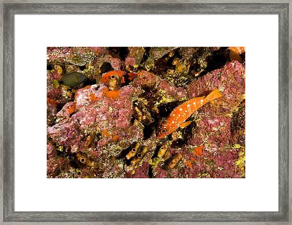 Blacktip Grouper Epinephelus Fasciatus Framed Print