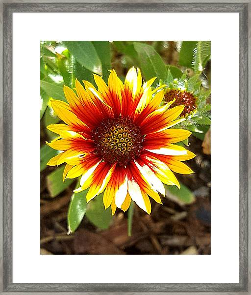 Blanketflower Framed Print