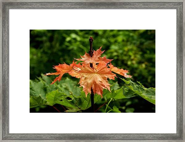 Blazing Maple Leaves Framed Print