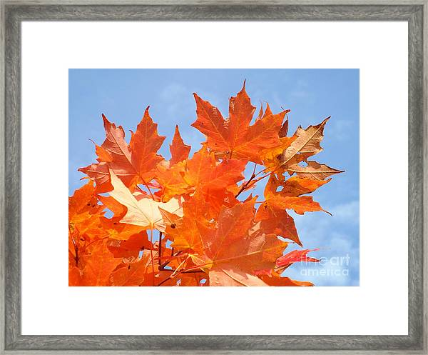 Framed Print featuring the photograph Blazing Maple by Barbara Von Pagel