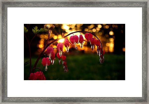 Bleeding Heart Sunset Framed Print