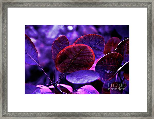 Bleeding Violet Smoke Bush Leaves - Pantone Violet Ec Framed Print