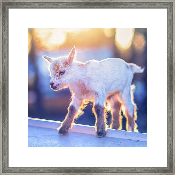 Little Baby Goat Sunset Framed Print