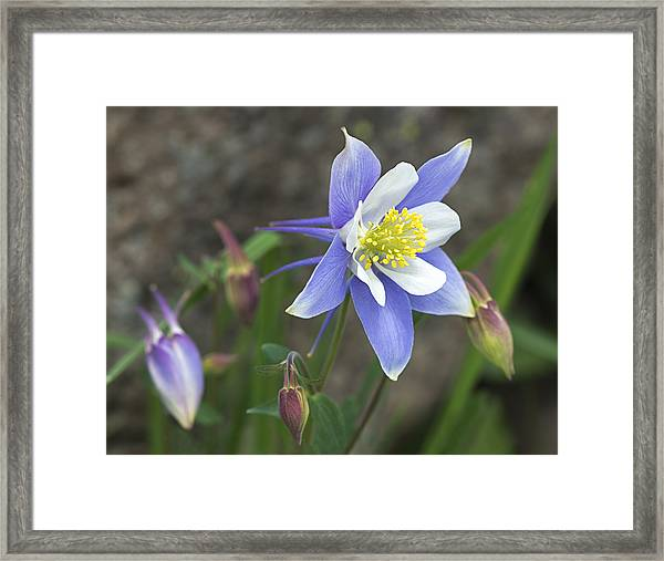 Blooming Blue Columbine Framed Print by Loree Johnson