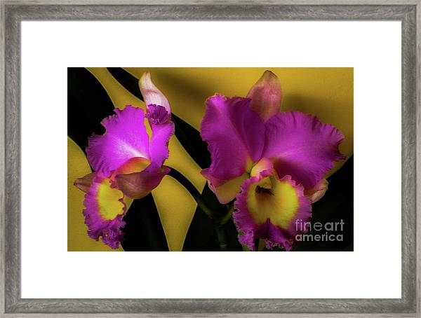 Blooming Cattleya Orchids Framed Print