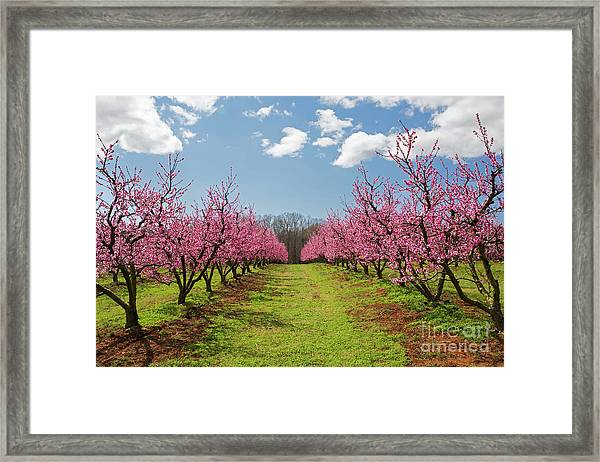 Blooming Peach Orchard 1 Framed Print